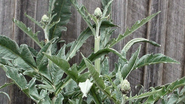 Artichoke (leaf) is one of the best choleretic and cholagogue herbs.