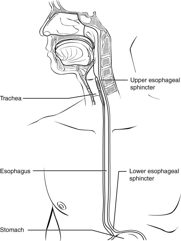 esophagus_sphincter