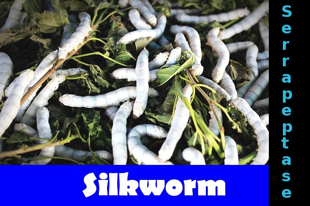 Serrapeptase is produced by bacteria originally found in digestive tract of silkworm.