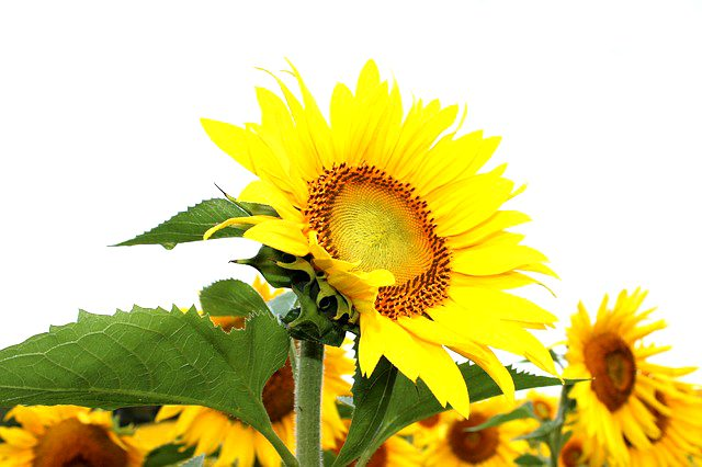 Sunflower lecithin as psoriasis cure